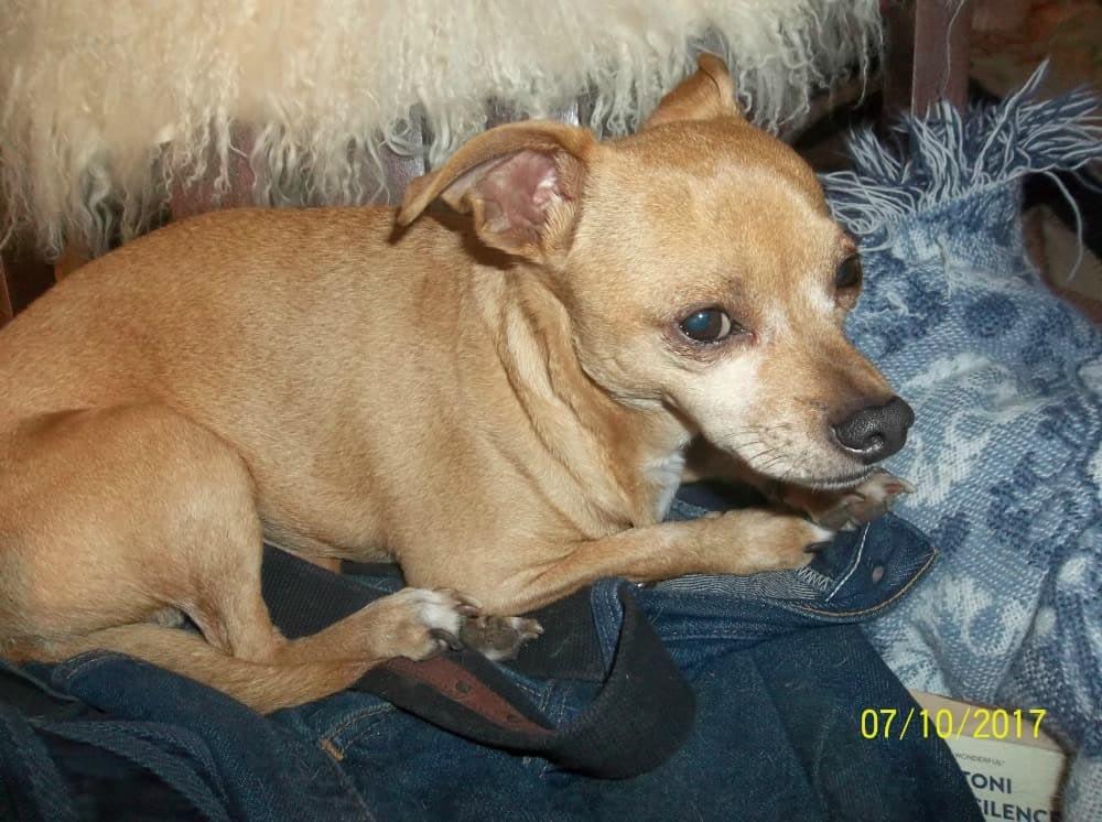 Charlie the Chihuahua
