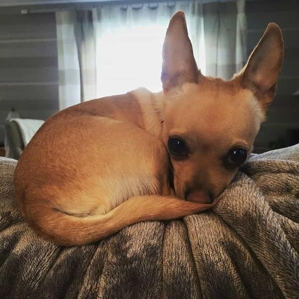 Chico the Chihuahua