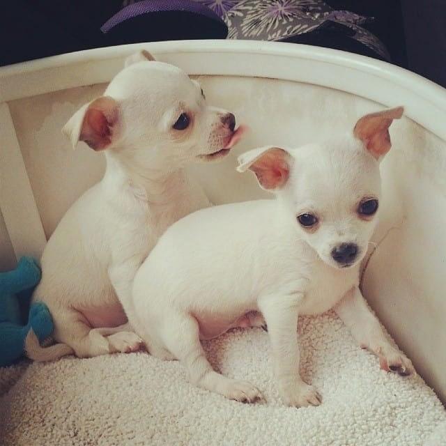 2 beautiful little Chihuahuas