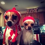 Chihuahua Christmas Gallery