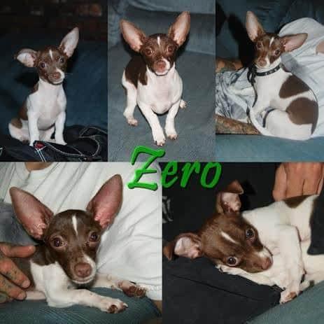 Zero the Chihuahua