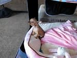 Tiny Chihuahua Puppy Howling