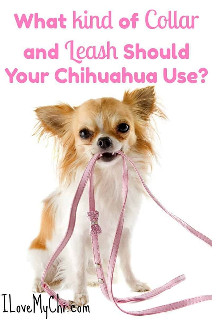 What kind of Collar and Leash Should Your Chihuahua Use