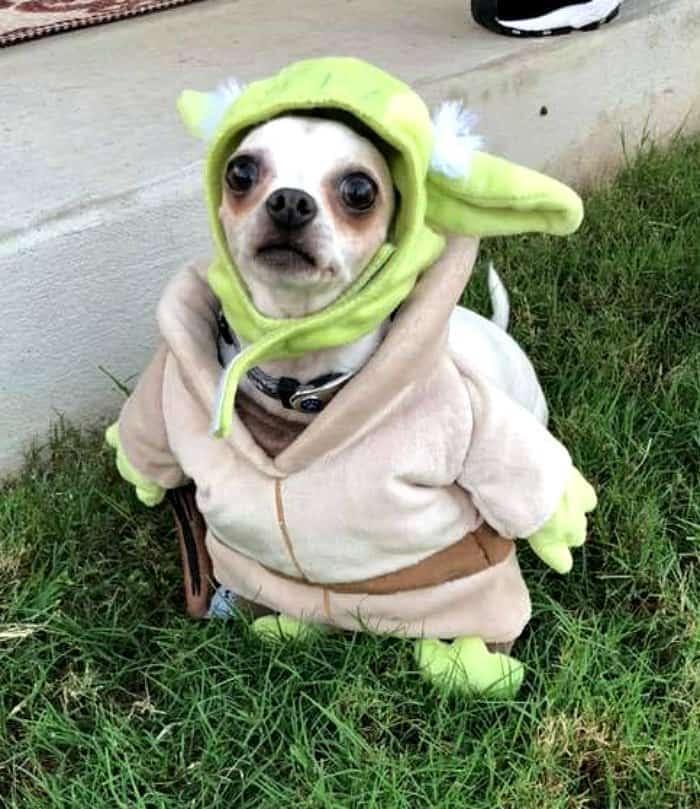 chihuahua dressed as Yoda.