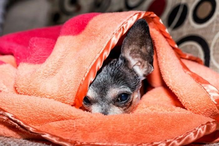 sleepy chihuahua under blanket