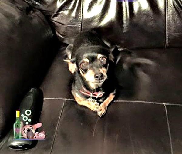 Nanny the Chihuahua