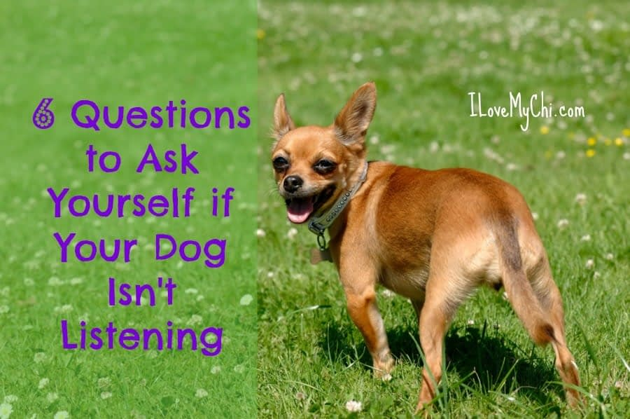 6 Questions to Ask Yourself if Your Dog Isn't Listening | I Love My