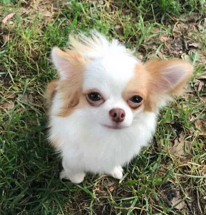 white and red long hair chihuahua
