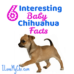6 Interesting Baby Chihuahua Facts