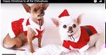 A Christmas Chihuahua Photo Shoot