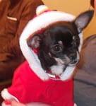 Georgia's Chihuahua Story