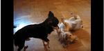 Playing Chihuahuas