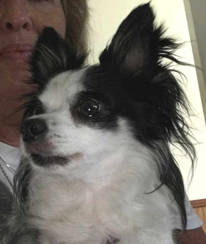 black and white long hair chihuahua