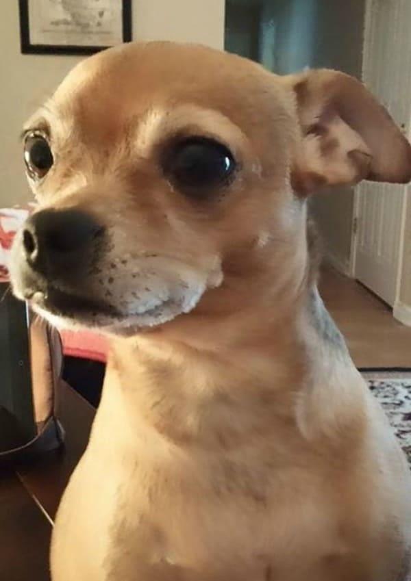 Izie Girl the Chihuahua