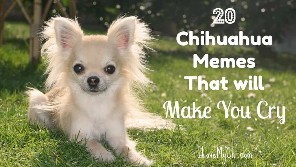 20 Chihuahua Memes That will Make You Cry