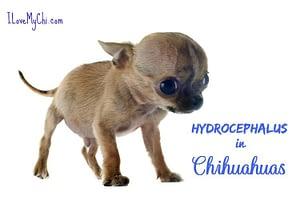 Hydrocephalus in Chihuahuas