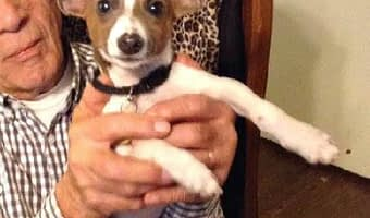 Pinto Bean the Chihuahua