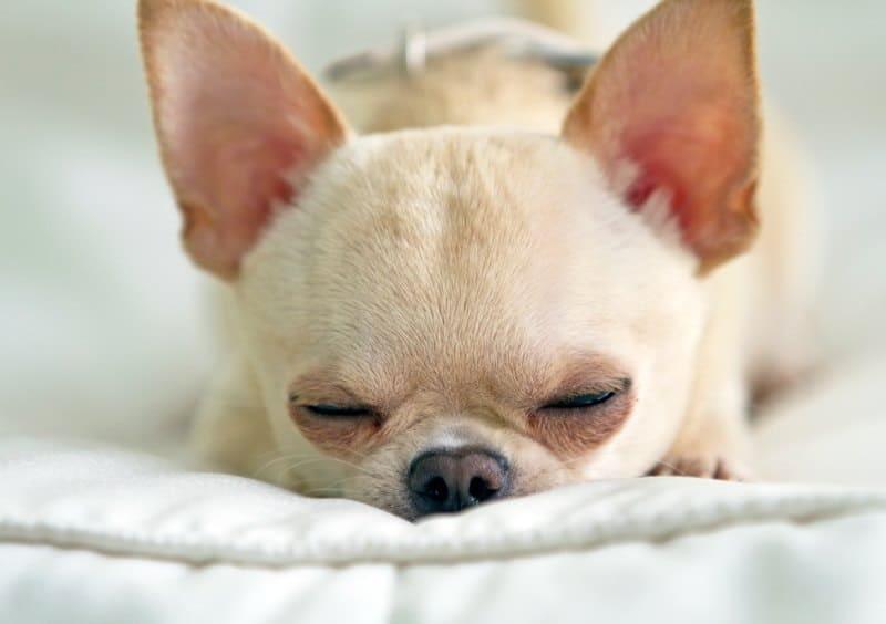 sleeping senior chi