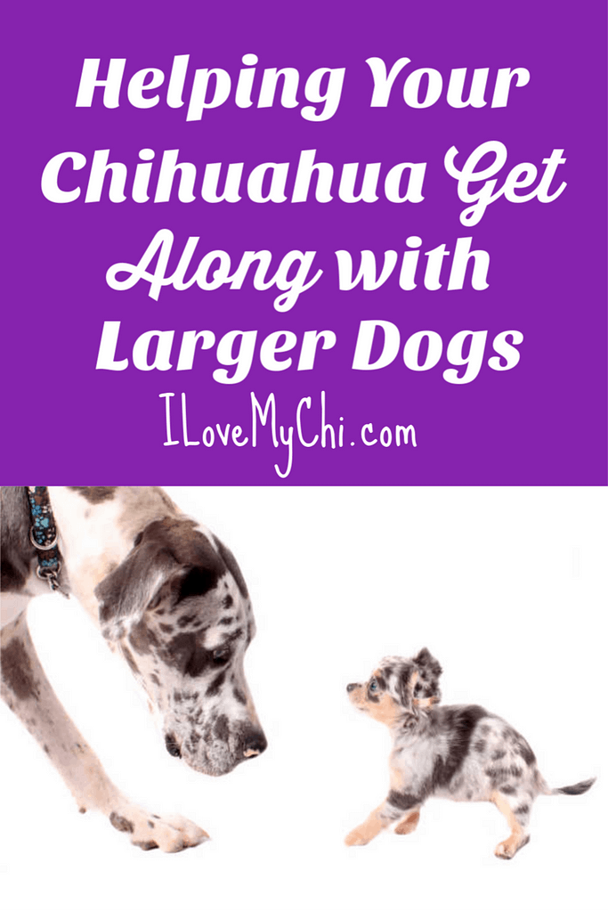 Helping Your Chihuahua Get Along with Larger Dogs
