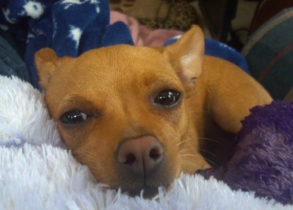 Sid Vicous the Chihuahua