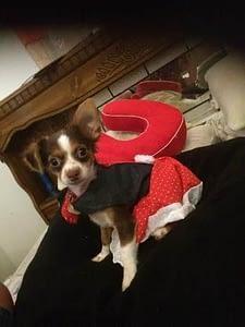 Sussie the Chihuahua