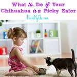 What to Do if Your Chihuahua is a Picky Eater