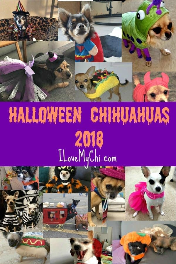 chihuahuas in their Halloween costumes