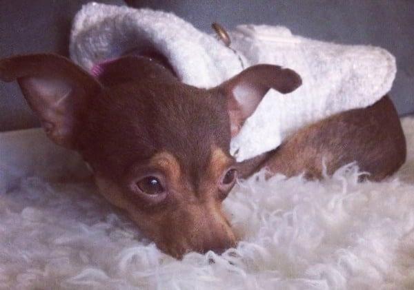 shy Chihuahua