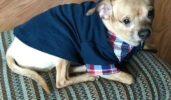 PeeWee the Chihuahua