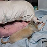 blond chihuahua laying on bed
