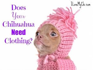 Does Your Chihuahua Need Clothing