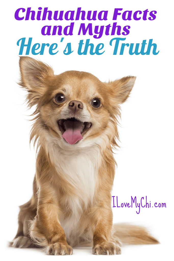 Chihuahua Facts and Myths