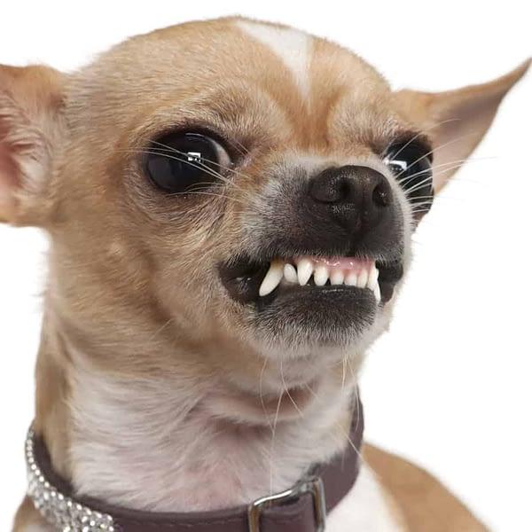 Agressive Chihuahua