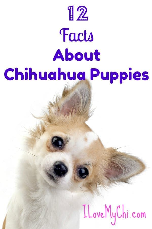 facts about chihuahua puppies