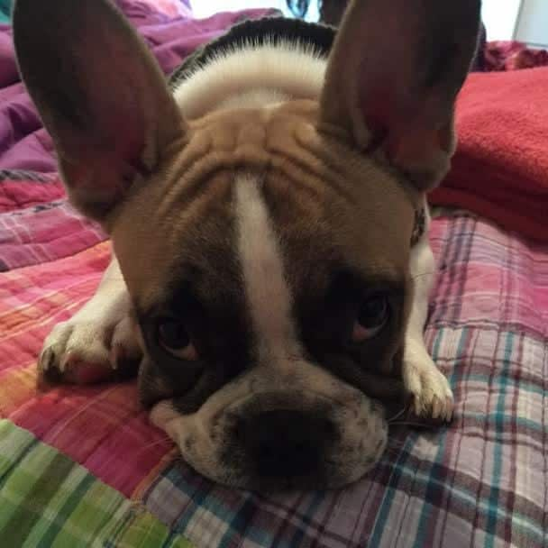 Odie the French Bulldog