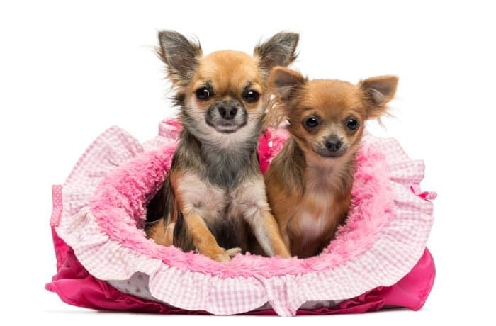 2 chihuahuas in a pink dog bed