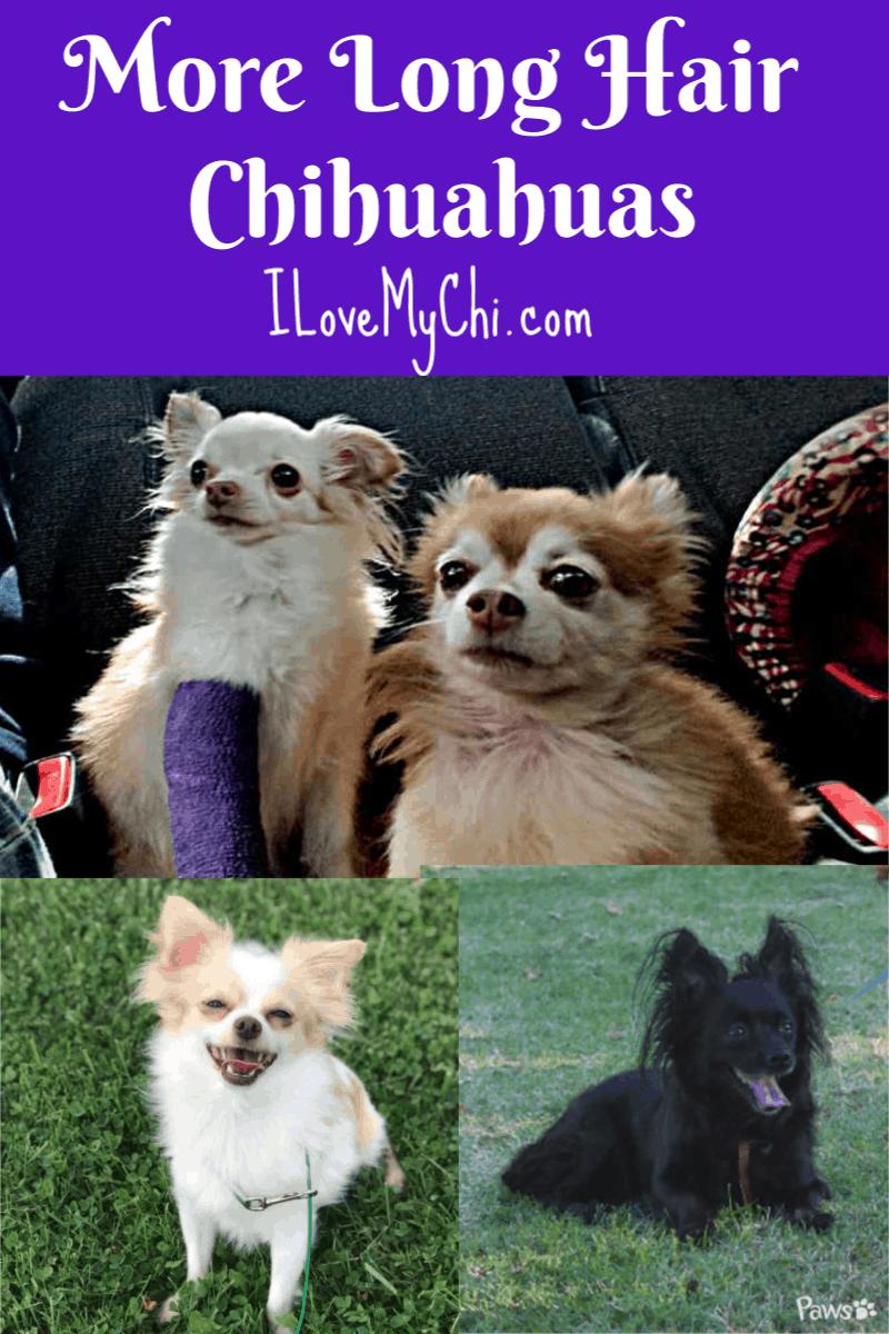 photos of beautiful long hair chihuahuas