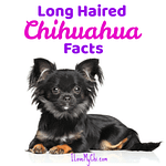 Long Haired Chihuahua Facts