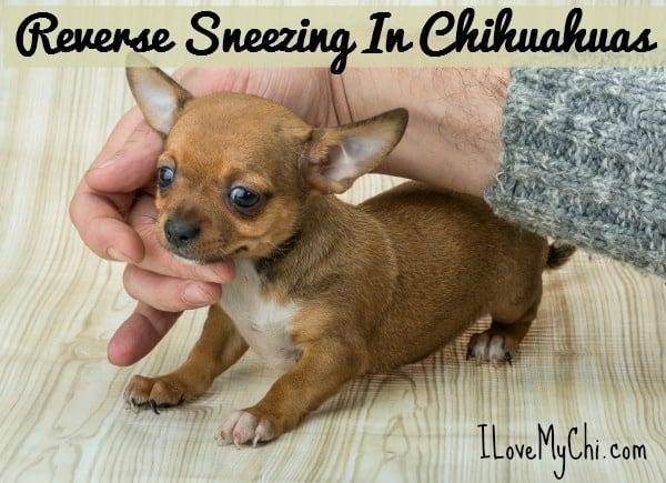 Reverse Sneezing in Chihuahuas