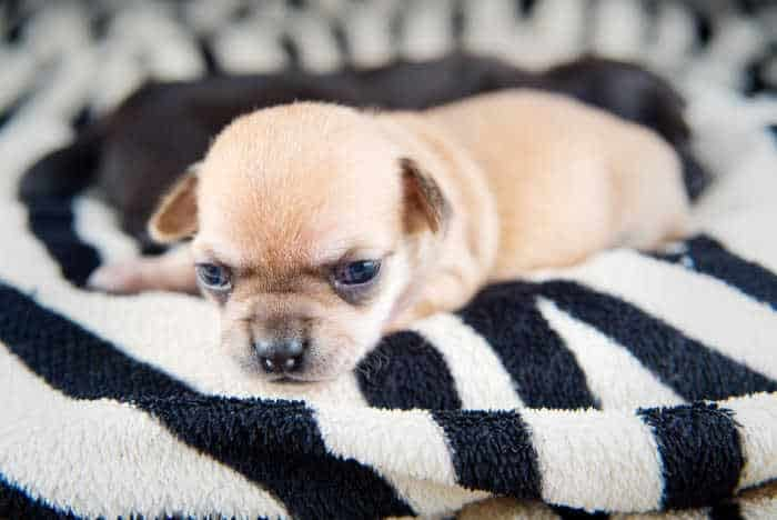 iny fawn chihuahua