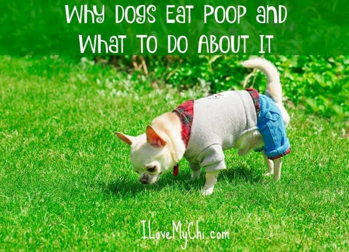 why dogs eat poop and what you can do about it