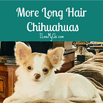 More Long Hair Chihuahuas