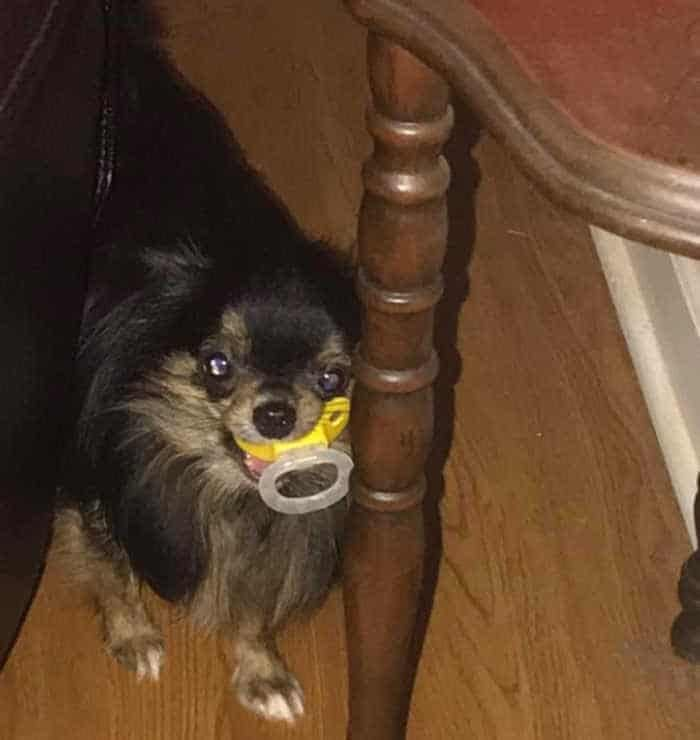 Fiona the chihuahua with a pacifier in her mouth