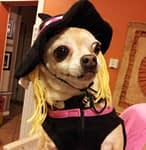 Tips To Keep Your Chihuahua Safe At Halloween