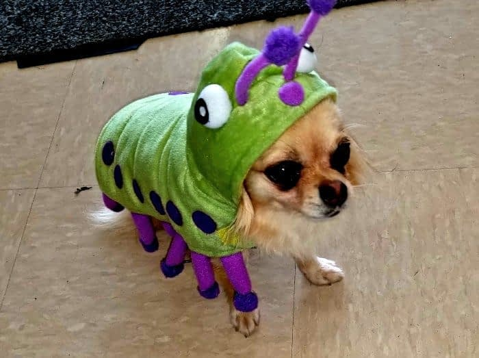 chihuahua in caterpillar costume