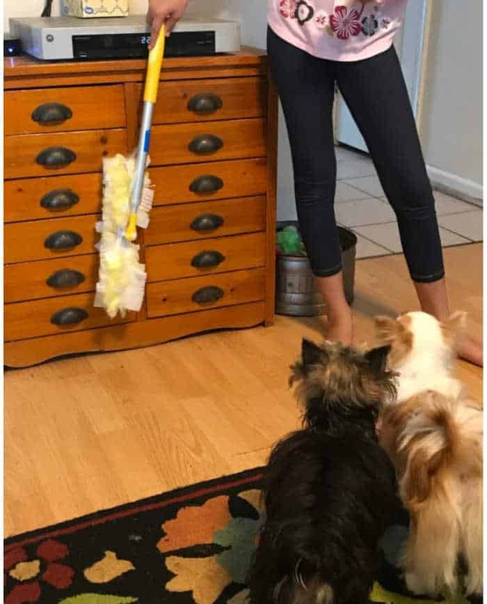 girl dusting with yorkie dog and chihuahua dog