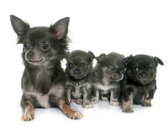 mother chihuahua with 3 puppies