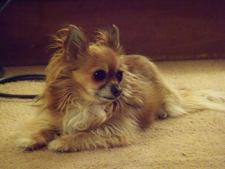 long hair Chihuahua