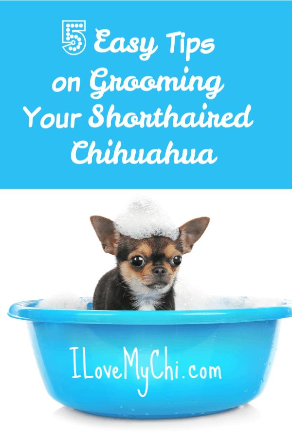 bathing a chihuahua