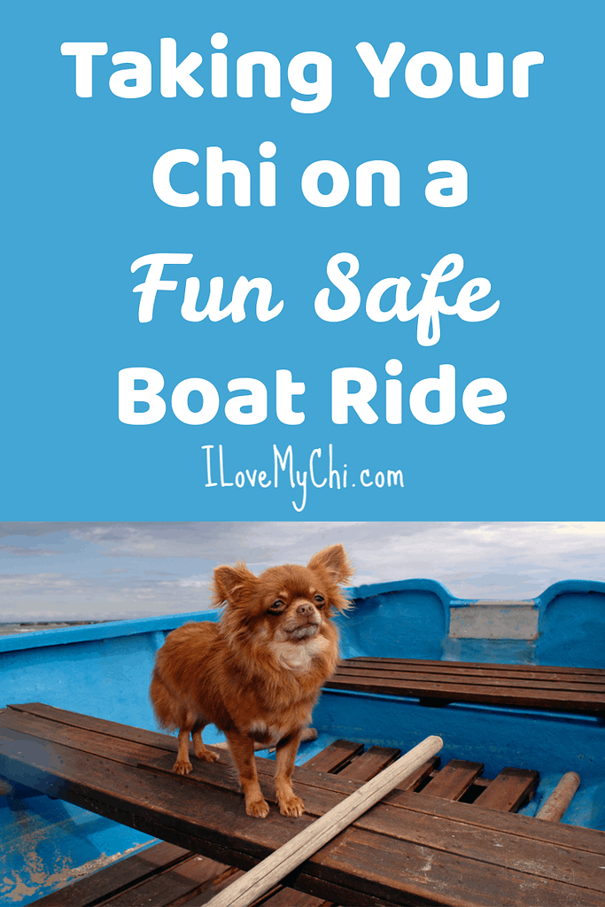 red long hair chihuahua in blue boat